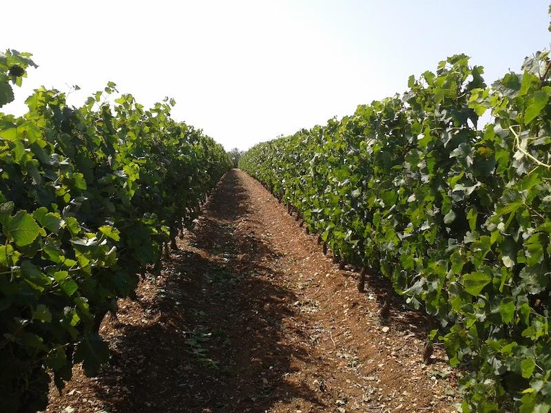 fin_vigne